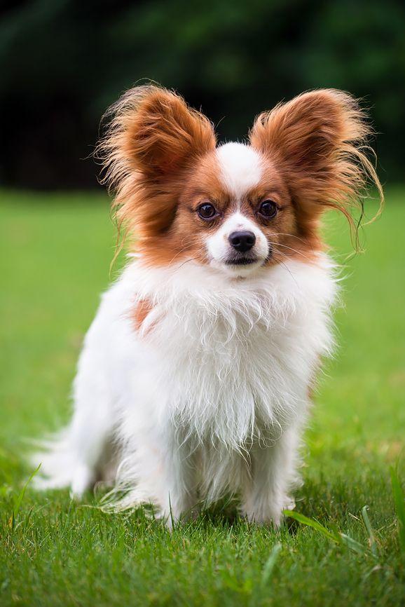 Самые маленькие собаки: топ-10 пород - Леди Mail.Ru