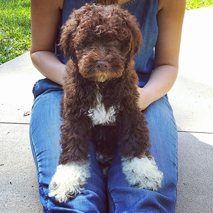 Lagotto Romagnolo puppy, 10 weeks, first day home