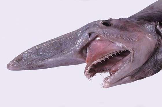 Pouco se sabe sobre esta espécie, no entanto aqueles que já o encontraram em barcos de pesca dizem q... - All Rights Reserved - Wikimedia/Imgur