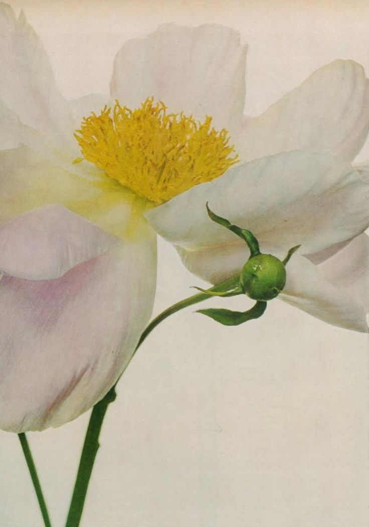 best irving penn still life images on, Beautiful flower