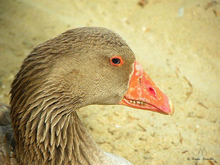 duck by kxkosmas