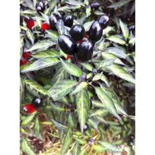 Black Olive Ornamental Pepper.  Might add these in with the hedges for cub appeal