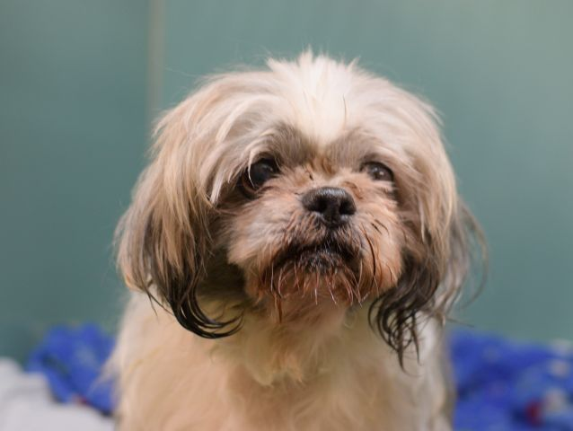 shih tzu heart murmur chewy a1061375 brooklyn to be destroyed 12 31 15 for 9559