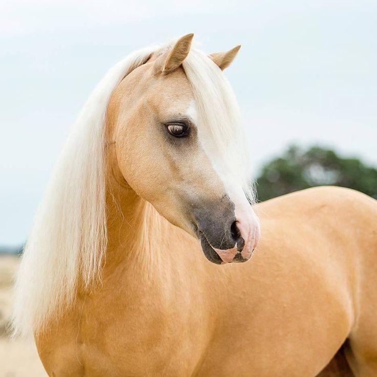 1000+ ideeën over Palomino op Pinterest - Paarden, Paardenrassen en ...