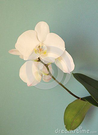 Beautiful orchid with blue background