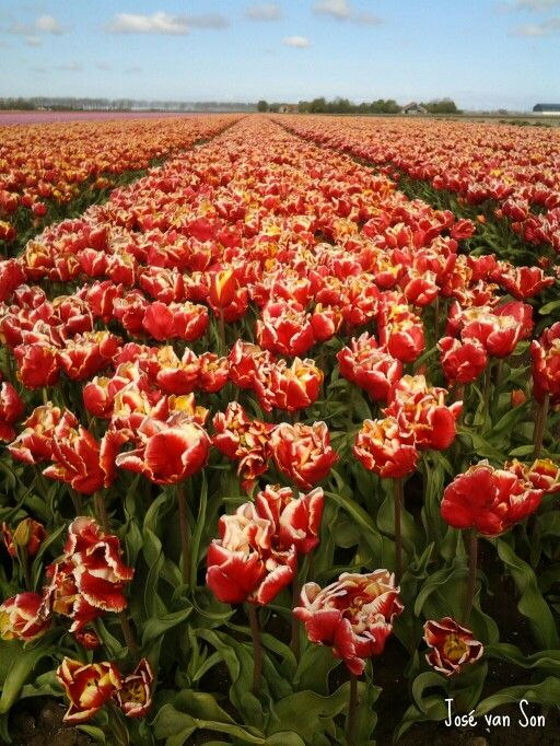 Tulip fields Biddinghuizen, Flevoland 2016 the Netherlands - Tulpenvelden 2016 Flevoland, Nederland