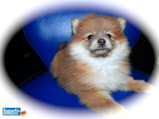 Toy POMERANIAN Babies. Prespoiled. Vet Checked. Financing Avail. *^*Huge Puppy Sale*^*Financing Avail*^*Credit Cards Welcome*^*BEST Guarantees*^*Visitors Welcome: Hug-A-Pup ...