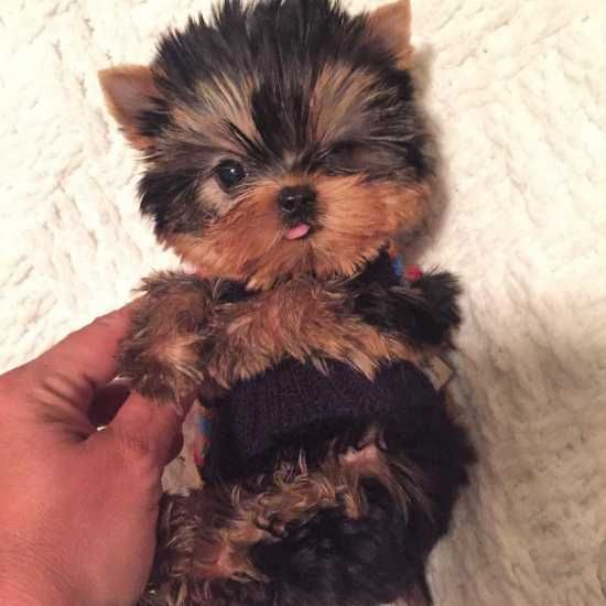 Tea Cup Yorkie Puppies For Adoption Text at (978) 743-9955