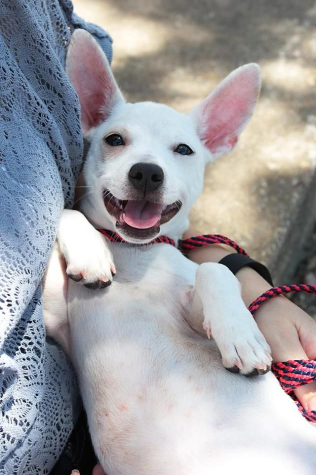 Stitch - URGENT - City of Corsicana Animal Shelter, Corsicana, Texas - ADOPT OR FOSTER - 2 year old Neutered Male Chihuahua
