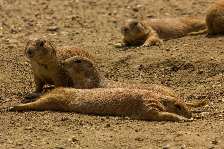 Prérikutyák. Black-tailed prairie dogs.