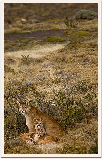 Puma mother and cubs, Torres del Paine, Chile
