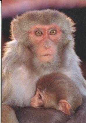 Art Unlimited Postcard, Marketa Jirouskova, Monkey Madonna, 2002, Archival Print (Nepal)