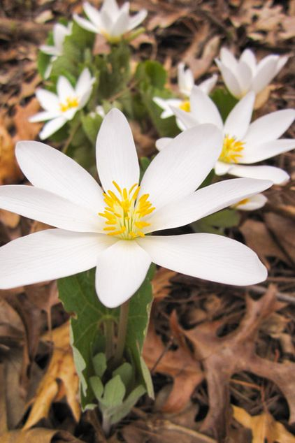 Bloodroot (Sanguinaria canadensis) is an early spring-blooming woodland plant that's hardy to -45° Ft (USDA zones 2b to 7a). It needs moist woodland soils in shade or partial shade. Plant in spring or fall; bare-root or potted plants are available from many native plant nurseries.