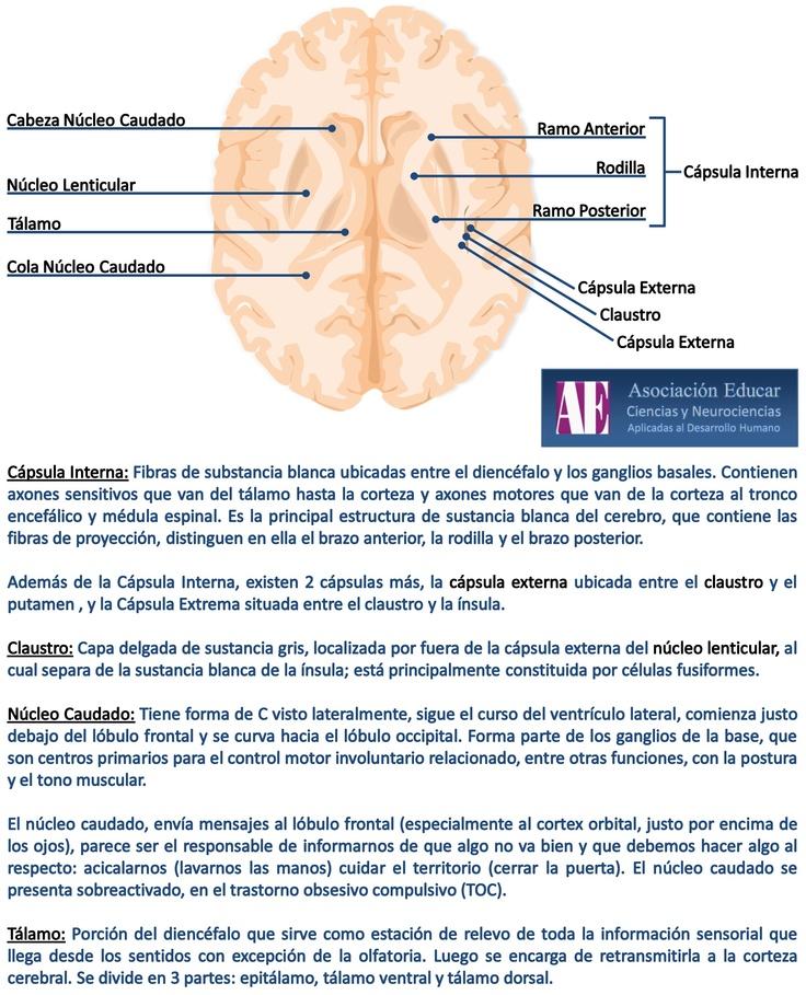 Núcleo caudado - Núcleo lenticular - Tálamo - Cápsula interna. - Asociación Educar - Ciencias y Neurociencias aplicadas al Desarrollo Humano - www.asociacioneducar.com
