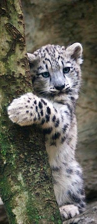 "Art On Sun: Snow Leopard Cub ""also called ghost cats because they never let themselves be seen. Beautiful things don't ask for attention.""--The Secret Life of Walter Mitty"