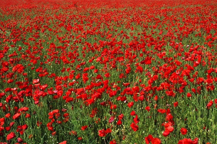 ~ Poppy Fields ~ Photo by Magda indigo Link>> www.indigo2photography.co.uk