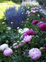 "peonies, sage, & catmint // Great Gardens & Ideas // Peonies make beautiful cut flowers and when the ""bushes"" are mature, grow lots of flowers with nicely spaced blooming since you always have mature flowers and blooms at the same time"