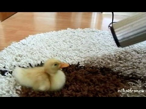 Overly needy duckling may also be the most adorable creature ever. AWW