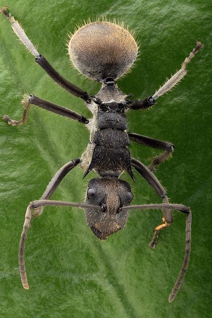 Polyrhachis ant   Flickr - Photo Sharing!