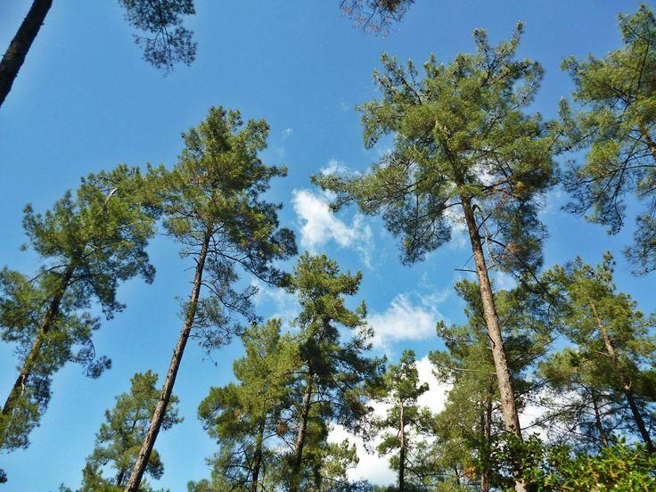 Το πευκοδάσος της Άρτας. Arta's pine forest in northwestern Greece.