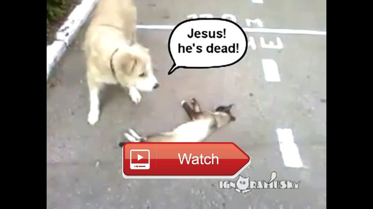Funny Dogs A Funny Dog Videos Compilation funny dogCheck out these funny videos of funny dogs and funny puppies It has some funny dog…