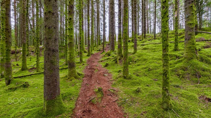 The Forest Path - A lovely forest path in a mossy pine forest in Bergen, Norway.