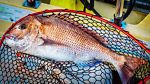 Snapper Fishing How To Hook up A Big Red | eBay