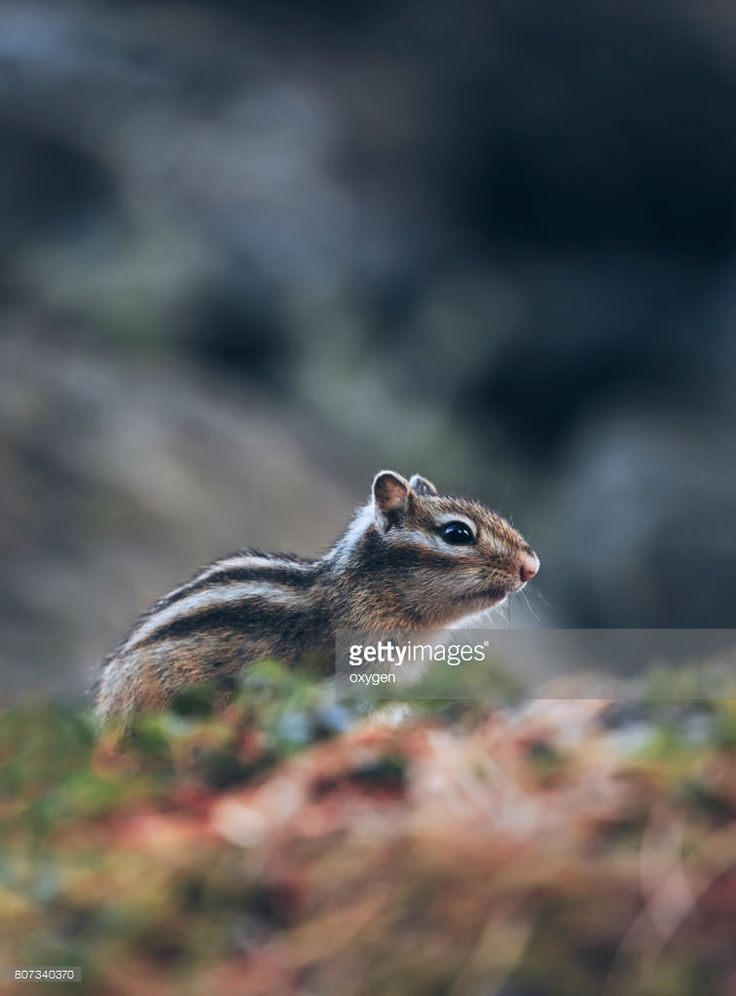 A little chipmunk standing and posing on a fallen tree on the Altai forest. #OksanaAriskina #Chipmunk #Nature #gettyimages #gettyimagescreative  #getty #gettycreative #gettyimagesnew #Altai #Altay