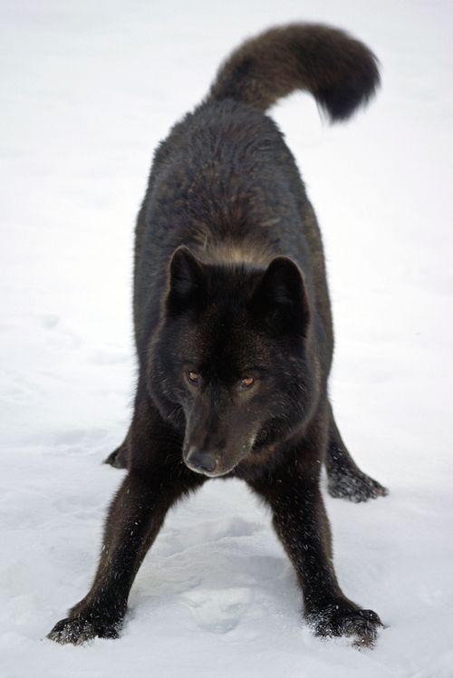 Playful Alexander Archipelago wolf (Canis lupus ligoni)