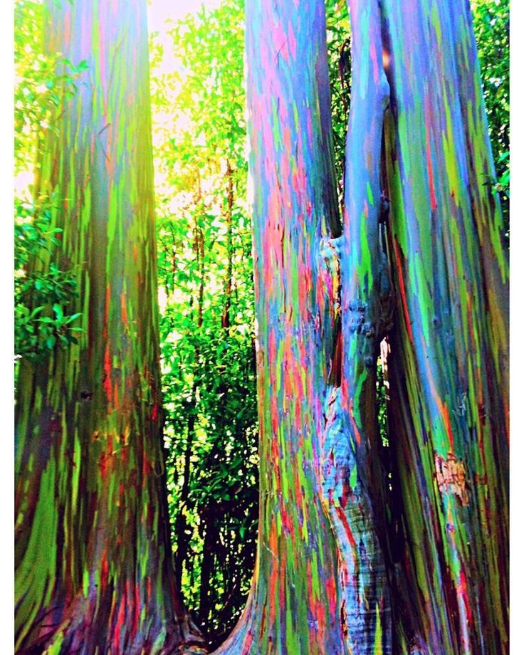 Rainbow Eucalyptus trees in Hana Maui. The phenomenon is caused by patches of bark peeling off at various times and the colors are indicators of age. #RainbowEucalyptusTree #Hana #Maui #Hawaii #HiddenGem #IslandGetaway