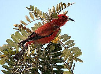Hawaii Audubon Society | Birding in Hawai'i