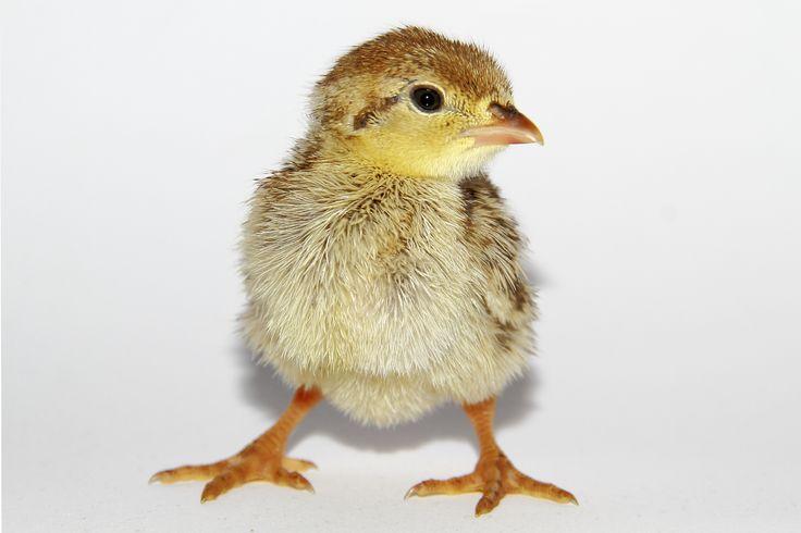 Partridge chick