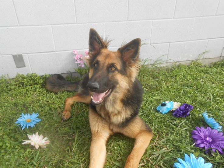 German Shepherd Dog dog for Adoption in Seguin, TX. ADN-488859 on PuppyFinder.com Gender: Male. Age: Young
