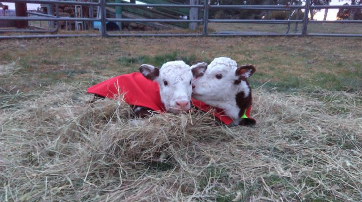 Two premie calves in their ICU Small Animal Premature Calf Rug