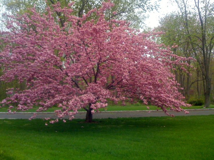 11 best images about trees of spring on pinterest trees for Terrace trees
