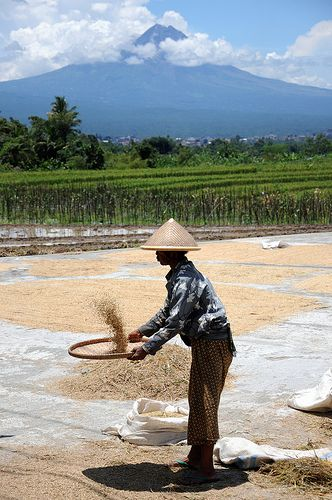 Sifting Rice in the shadow of Merapi Volcano, Yogyakarta
