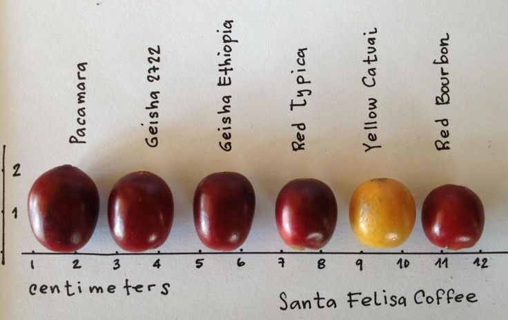 Size difference between each coffee variety