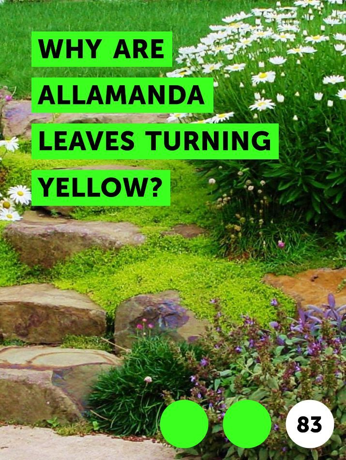 Learn Why Are Allamanda Leaves Turning Yellow How To Guides Tips And Tricks Growing Plants Garden Soil Sandy Soil