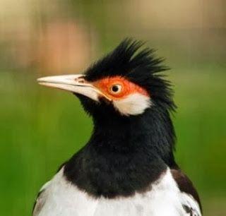 Tips Mudah Membedakan jalak suren jantan dan betina | Burung Nusantara