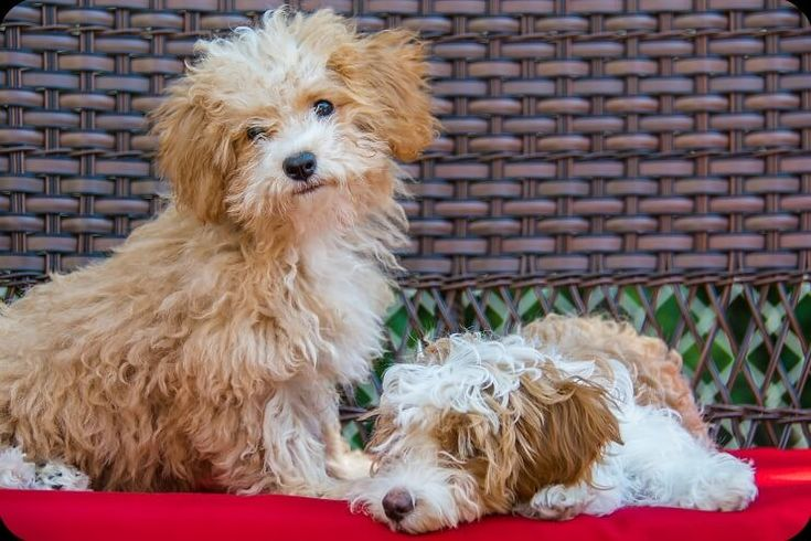 Bolognese Puppies For Sale Near Me 2021