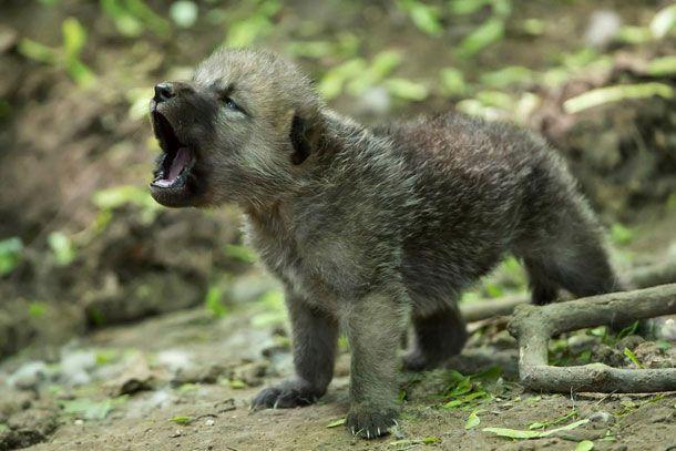 Howling arctic wolf cub by: Animal Press