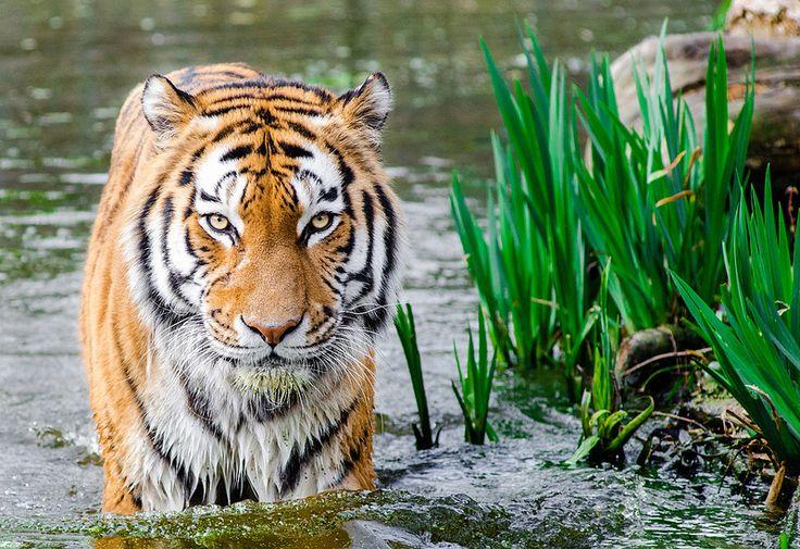 Tiger | by Mathias Appel