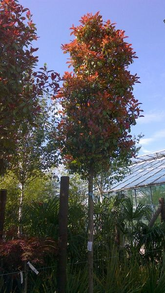 Photinia Red Robin, Full Standard Tree, Paramount Plants and Gardens - for sale