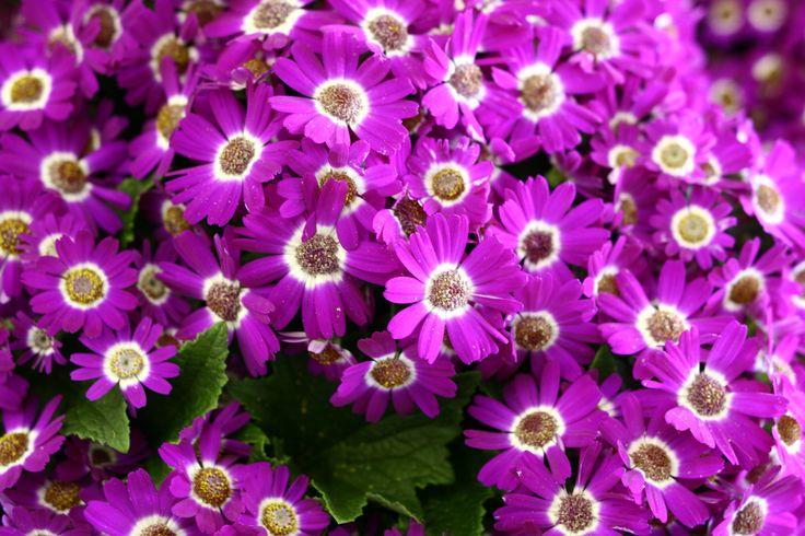 violet flori de primavara wallpaper - Imagini de fundal HD