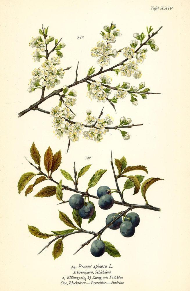 SCHWARZDORN SCHLEHDORN Botanik Farbdruck Antiker Druck Antique Botanical Print