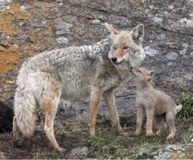 STOP December Coyote Killing Contest In New Mexico! PLEASE SIGN & SHARE FOR THE LIVES OF THE COYOTES! Once again Mark Chavez, the owner of Gunhawk Firearms is sponsoring an animal slaughter contest. Scheduled for December, his sites are once again set on coyotes. His claims of helping farmers is nothing more than promotion for his business, which appears to be benefiting at the expense of local wildlife. This must be stopped!