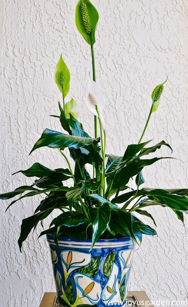 Peace lily care spathiphyllum growing tips joy us