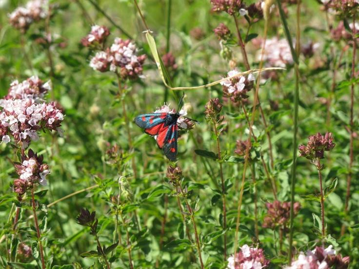 Flores del Oregano con una mariposa Zigena o gitana. Revilla. Parque Nacional de Ordesa. North Spain.