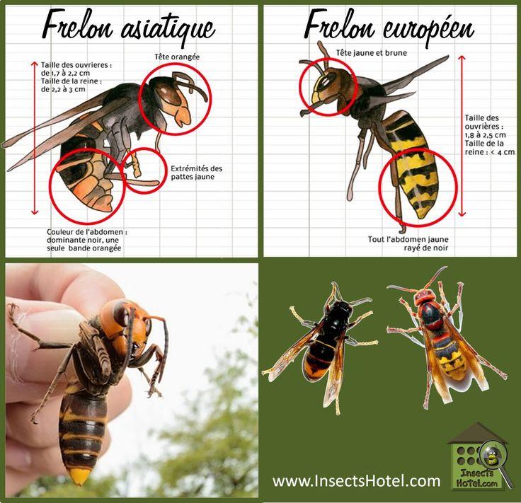 Les 25 meilleures id es de la cat gorie frelon europ en sur pinterest nid d araign e piqure - Repulsif frelon asiatique ...