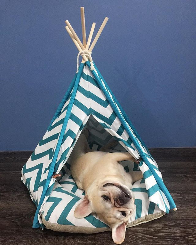 Plato, the French Bulldog in a Tee Pee.